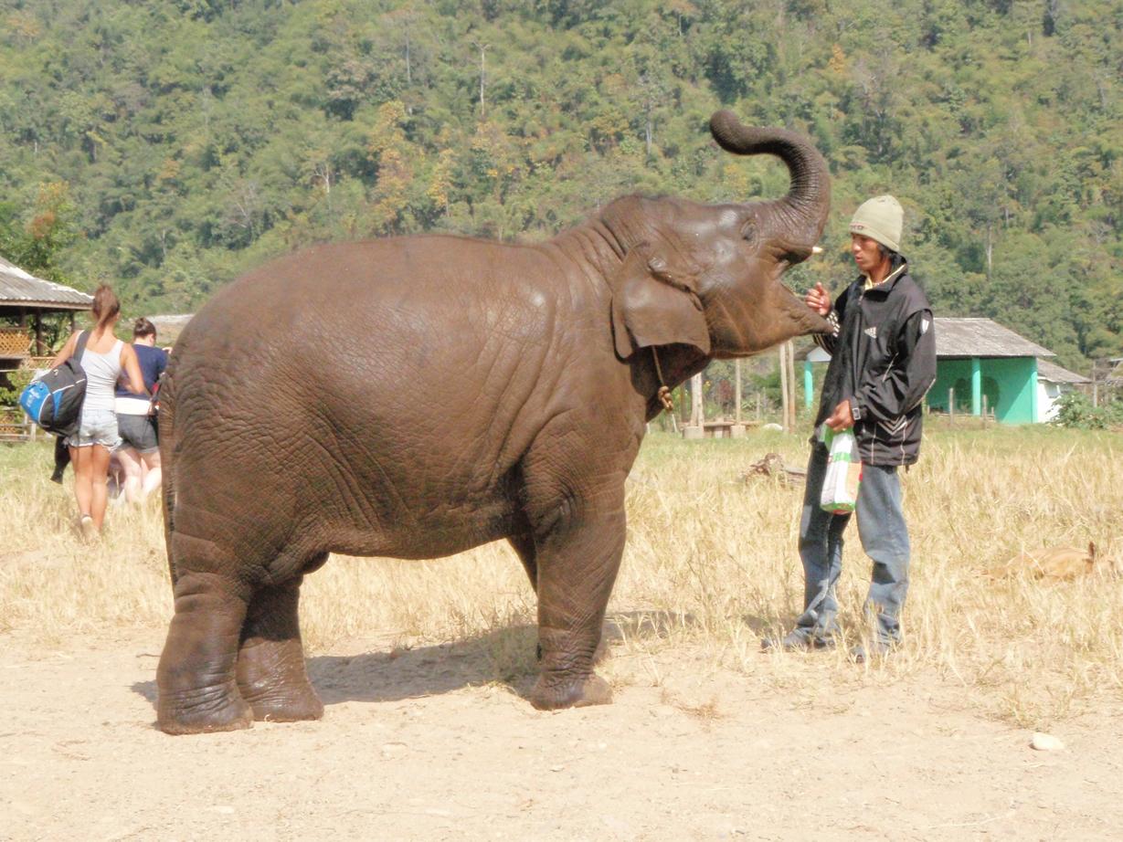 Elefante asiático es muy distinto del africano, por ejemplo tiene las orejas más pequeñas