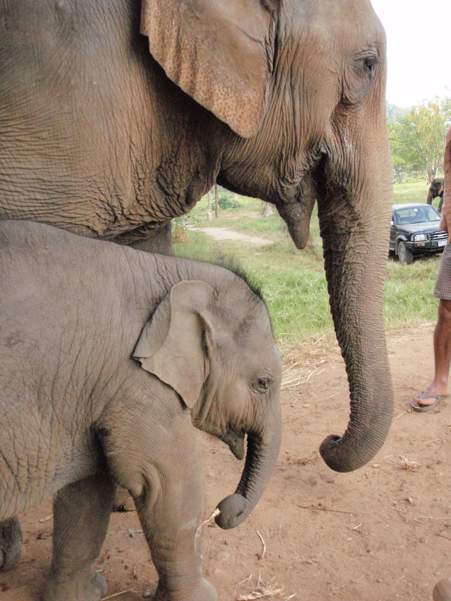 El documental chileno de elefantes fue grabado también en Tailandia