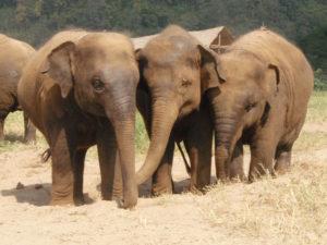 ex elefantes maltratados ahora viven en un parque