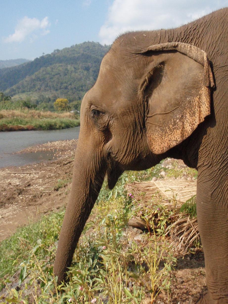 El elefante africano y el asiático son especies distintas